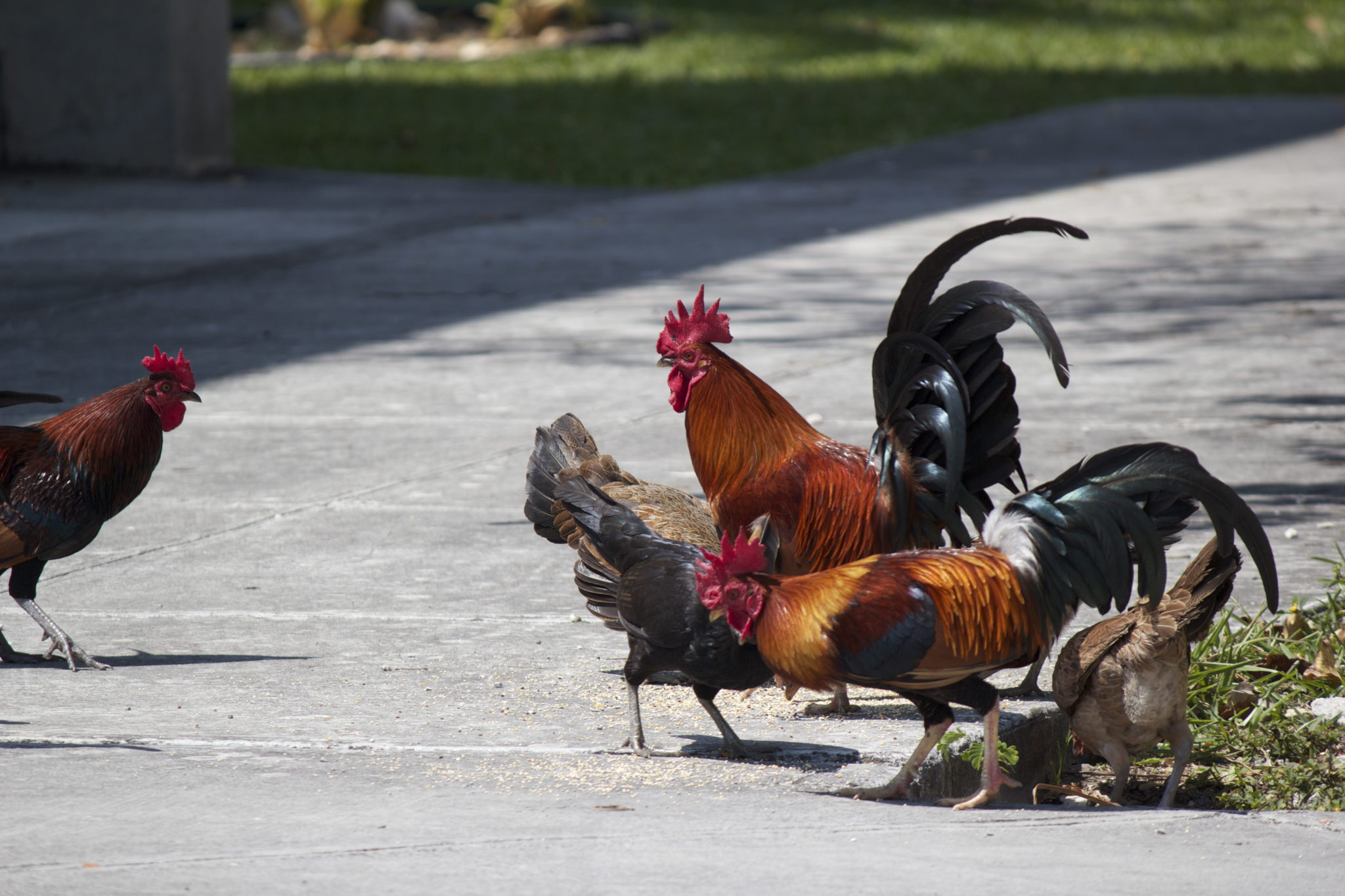 key west roosters